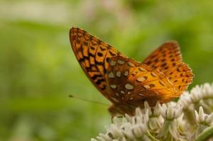 butterfly-424935_640